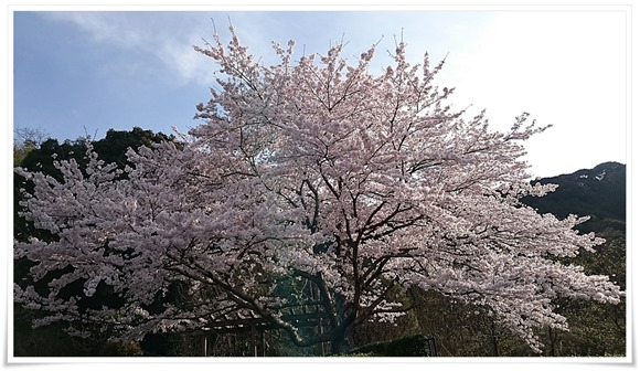 どこぞの満開の桜