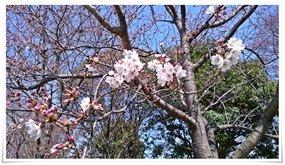 二分咲き@高炉台公園で花見