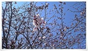 ちょいと桜@高炉台公園で花見