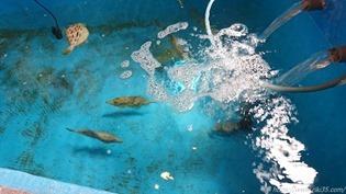 ミニ生け簀@魚料理 びびんや